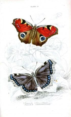 Tavus kelebeği Vanessa io ve koyu renkli Vanessa antiopa kelebekleri
