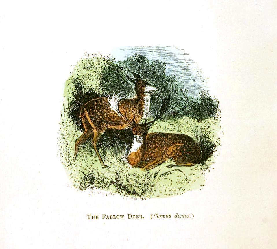 erkek ve dişi alageyik çizimi