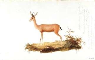 Bir antilop türü çizimi