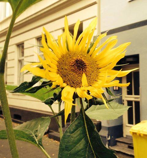 sonnenblumen-zu-vogelfutter