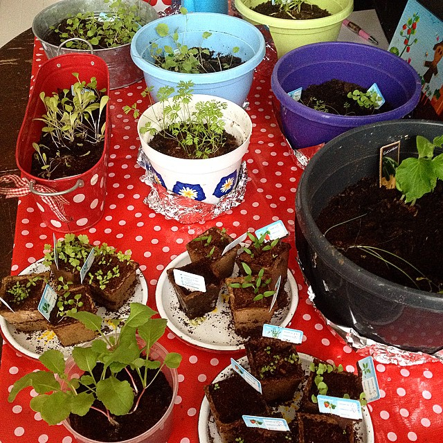 Schulprojekt : Essen aus dem eigenen Garten. Also zieht die kleine Stadtgärtnerin Setzlinge  vor :-)
