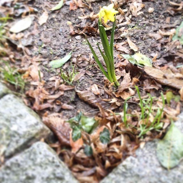 Die ersten Frühlingsboten in der Baumscheibe  vorm Haus…