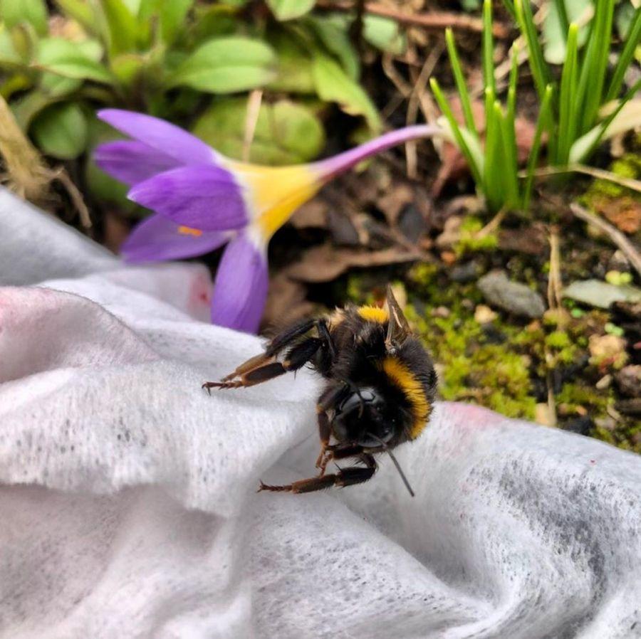 Die Hummelkönigin bei uns im Garten ist heute erstmals unterwegs und krabbelt von Blüte zu Blüte… mal sehen wo sie ihren Bau anlegt. Frage : Hat jemand von euch Erfahrungen mit einer Hummelburg oder einem Hummelnistkasten?