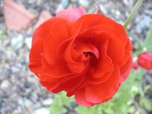 Ranunculus flower opening