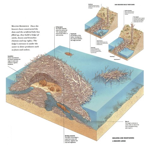 small resolution of bill donohoe illustrator beaver dam cutaway inside a beaver lodge diagram