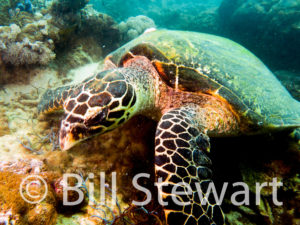 Hawksbill Turtle photographed in Puerto Galera, Philippines on August 25th, 2016.
