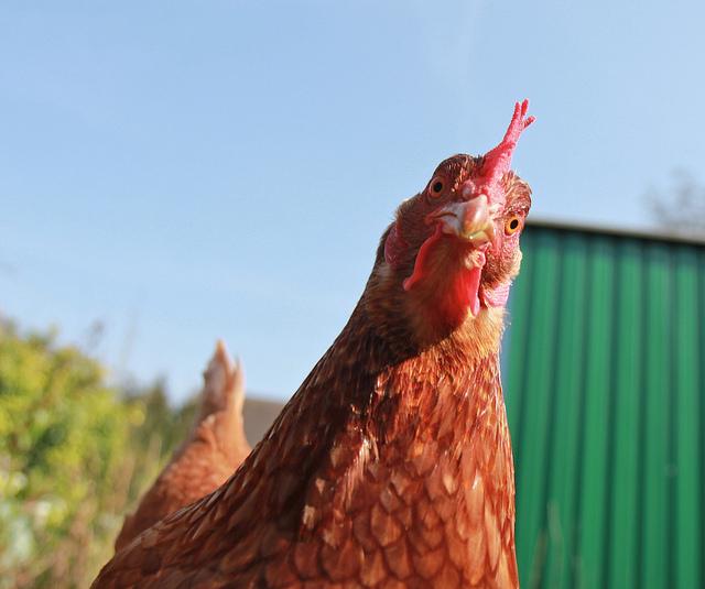 We're having Chicken tomorrow