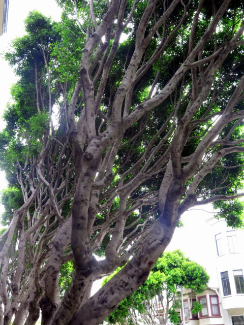 Cool ficus trees on Hyde Street. San Francisco, United States, North America.