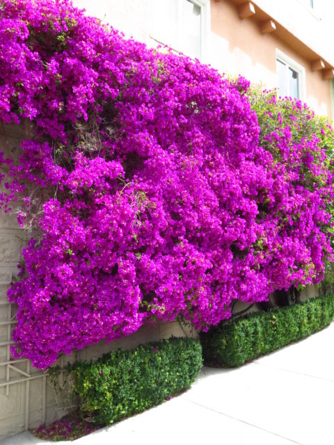 More brilliant bougainvillea on Russian Hill. (Bougainvillea always reminds me of my former home Los Angeles.) San Francisco, United States, North America.