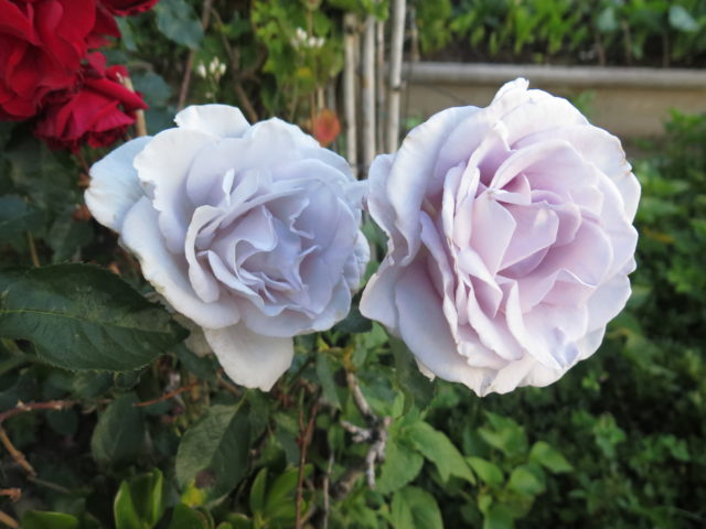Lovely lavender roses in Alice Street Community Gardens. San Francisco, United States, North America.
