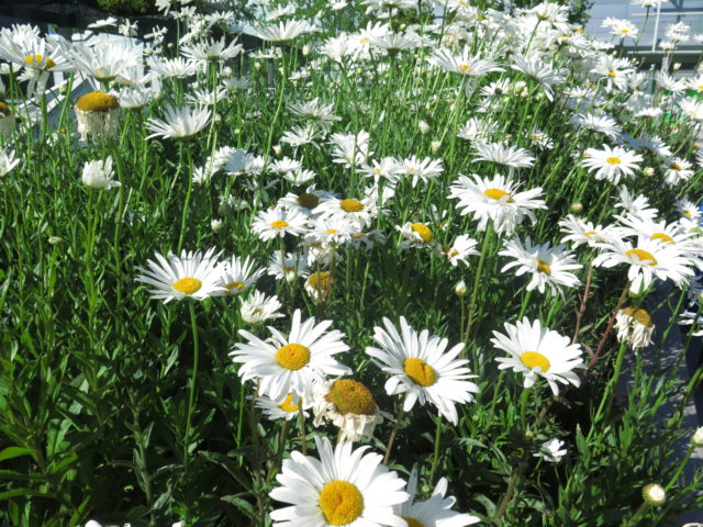 "Delightful daisies in Yerba Buena Gardens. Yerba Buena was the original name of San Francisco. Perhaps ironically, Yerba Buena means ""Good Herb"". San Francisco, United States, North America."