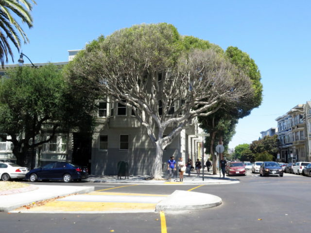 A cool-looking ficus tree on Dolores Street in the Mission. San Francisco, United States, North America.