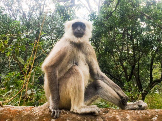 In India, monkeys rule. Rishikesh, India, Asia.