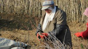 39 milyon dolarlık gelir getirdi: İnegöl'de hasadı başladı