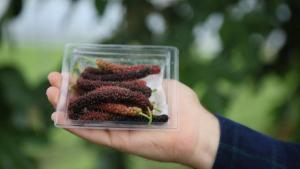 Antalya'da kış mevsiminde yaz meyveleri yetişiyor
