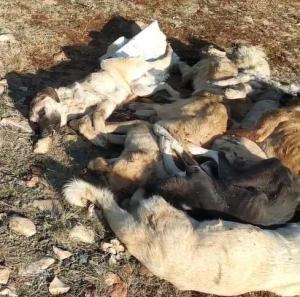 Boş Bir Araziye Atılmışlar: 29 Köpek Baygın Bir Halde Bulundu