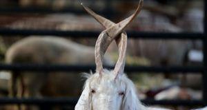 Kurban pazarında 4 boynuzlu koç ve boynuzları karışan keçi: 'Kimse almaya pek yanaşmıyor'