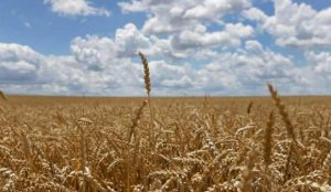 Rusya, buğday ihracatında vergiyi iki katına çıkarmaya hazırlanıyor