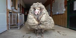 Bazı Şeyleri Kafada Bitirmiş Koyun Kombini: 5 Yıl Başıboş Gezdi, Üzerinden 35 Kilogram Yün Çıktı