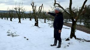 Bursa'da 'yalancı bahara' aldanan zeytin ağaçları don nedeniyle yandı