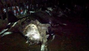 Elektrik çarpan 8 inek telef oldu