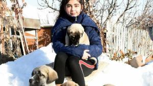 Ona 'Kangalların prensesi' diyorlar: 12 yaşındaki Naz kangal köpekleriyle büyüyor