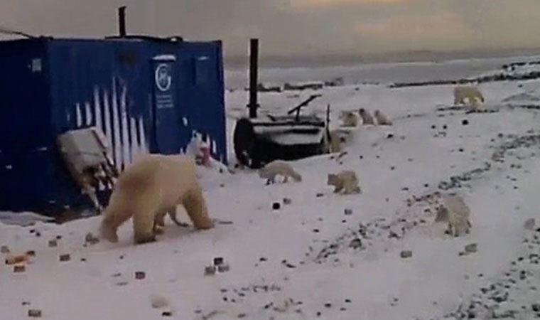 Rusya'da şantiyelere inen kutup ayıları paniğe neden oldu