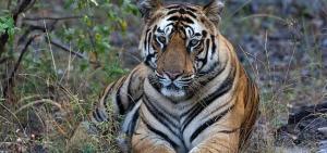 Taru'nun Kaplan Kraliçesi National Geographic WILD Ekranlarında