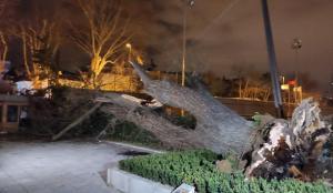 TFF'nin Beylerbeyi Tesisleri'ndeki asırlık çınar ağacı rüzgar nedeniyle devrildi
