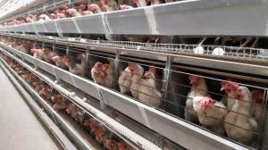 Bu ilçede 6 milyon tavuk ve 5 bin insan yaşıyor