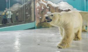 Çin'de kutup ayılarını kullanarak reklam yapan otel tepki çekti
