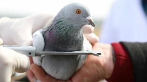 O Sivas'ın 'taklacı' güvercini: 14 saat uçabiliyor