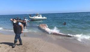 Manisa sahile 10 metrelik ölü balina vurdu