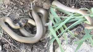 Son dakika… Iğdır'da yumurtadan çıkan yakalı yılan yavrusu böyle görüntülendi
