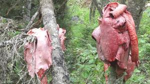 Son dakika… Trabzon'da büyük tedirginlik! Ağaçlara et astılar
