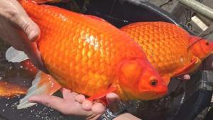 ABD'de göletlere bırakılan Japon balıkları istilacı türlere dönüştü! Sosyal medyada uyarı yaptılar