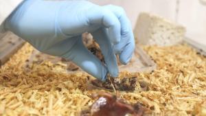 Adli Tıp morgunun kemikten doku temizleyen böcekleri
