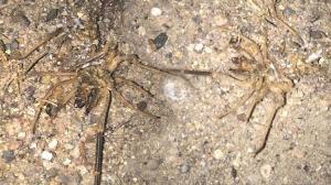 Son dakika! Kayseri'de 'sarıkız örümceği' tedirginliği! Zehirli değil ama can yakıyor