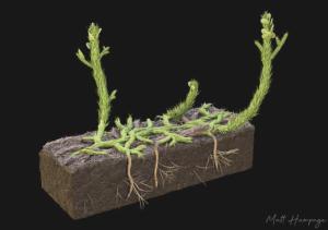 400 Milyon Yıllık Fosil Bitki Köklerinin Nasıl Oluştuğunu Ortaya Çıkardı