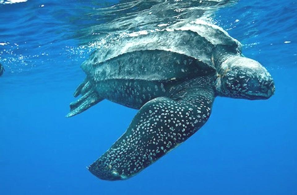 Türkiye'de İlk Defa Canlı Görüntülendi: Deri Sırtlı Deniz Kaplumbağası Göcek'te Görüntülendi