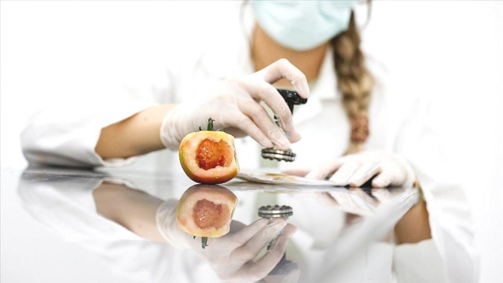 Domates üretimini olumsuz etkileyen virüse karşı yerli tohum geliştirildi