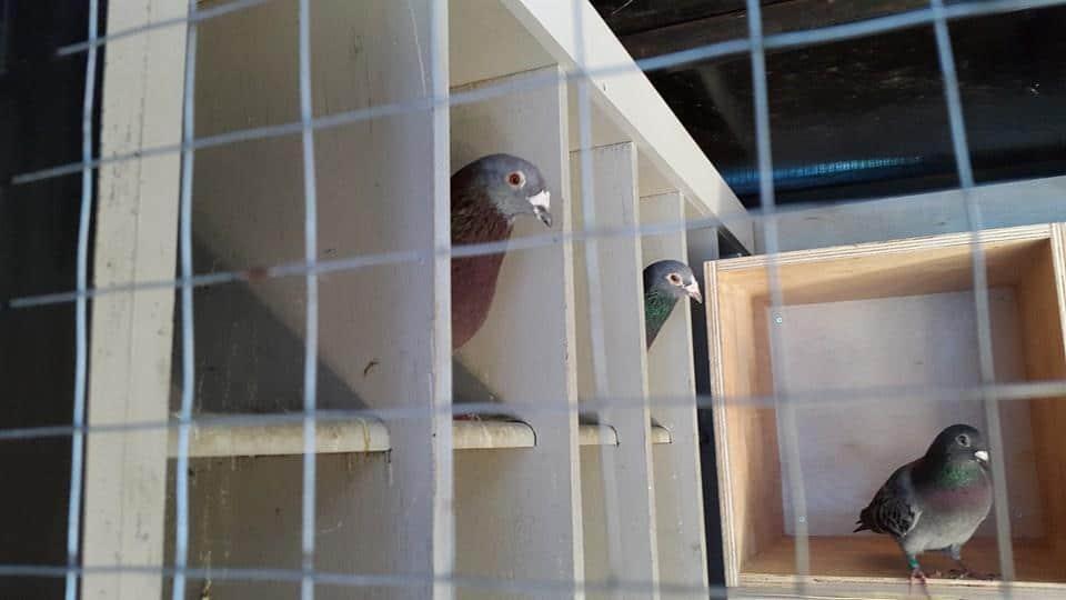 cara membuat kandang burung dara yang bagus - Membuat Kandang
