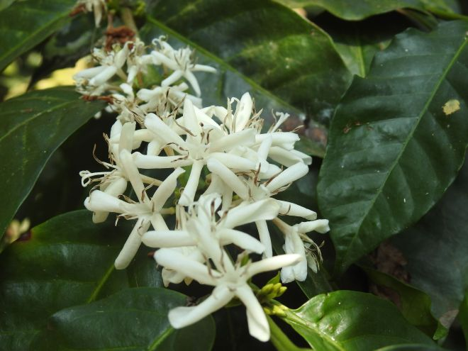 The flowers of the Coffee Bean