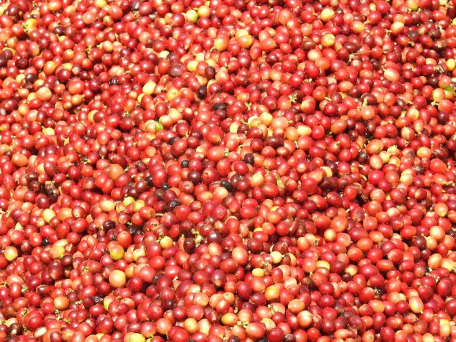 The ripened coffee beans ready for processing