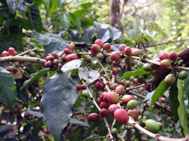 Coffee Beans on a coffee shrub