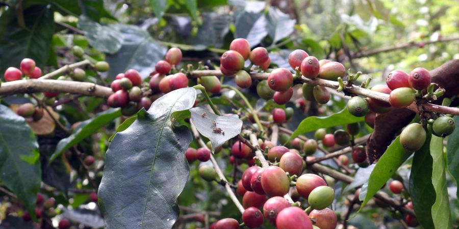 Coffee Beans on a coffee shrub