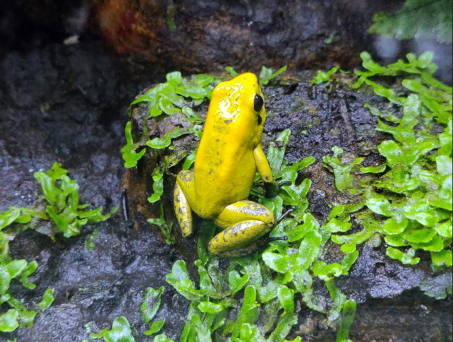 Black-Legged-Poison-Dart-Frog