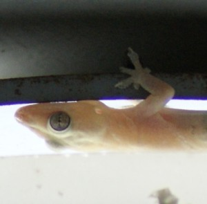 The cicak, or house gecko
