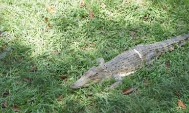Big crocs grow from little crocs