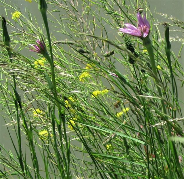 Beemster in Beeld - Bermflora langs de Volgerweg